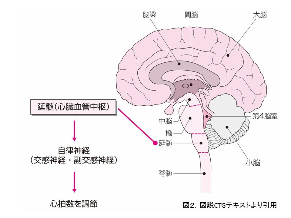 延髄(心臓血管中枢)の働き