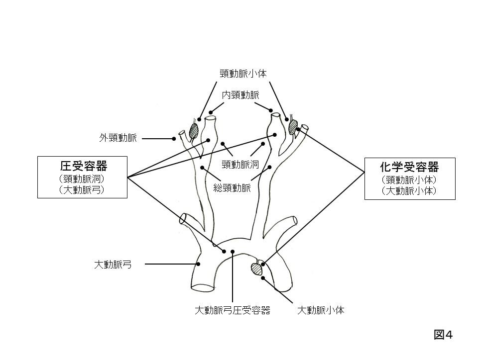 センサー(化学受容器と圧受容器)